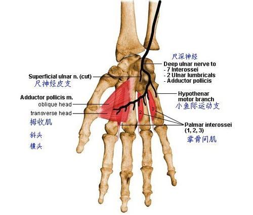 手部解剖图谱